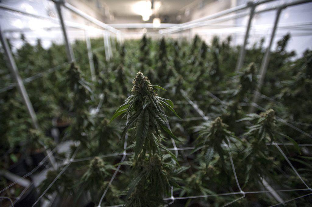 Lanciata petizione per bloccare la vendita di marijuana legale