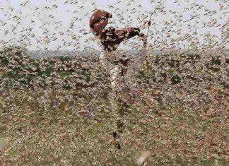 Invasione locuste Somalia