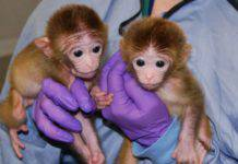 embrioni uomo scimmia